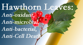 Vancouver Disc Centers presents new research regarding the flavonoids of the hawthorn tree leaves' extract that are antioxidant, antibacterial, antimicrobial and anti-cell death.